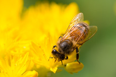 Stonecrop Honey (oandrews) Tags: apismellifera bee canon canon70d canonuk fauna garden honeybee insect invertebrate minibeast nature outdoors stonecrop yellow