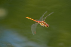 Heidelibelle im Flug (AchimOWL) Tags: heidelibelle libelle makro macro natur gx8 tier insekt wildlife outdoor wasser teich lumix panasonic leica ngc weiher water