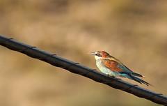 Abejaruco / European bee-eater / Merops apiaster (vic_206) Tags: bird abejaruco meropsapiaster europeanbeeeater canoneos7d canon300f4liscanon14xii bokeh