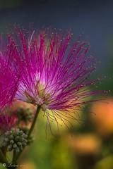 Fleurs d'Albizia (Leina photos) Tags: fleur bokeh macro rose bleu soie soleil albizia lumire canon