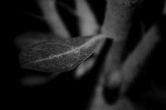 The Leaf (@MASlivak ) Tags: folha leaf bw pb branco preto cinza gray black white