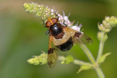 Volucella pellucens (Linnaeus, 1758). Hembra (Jess Tizn Taracido) Tags: diptera cyclorrapha syrphidae eristalinae volucellaelegans