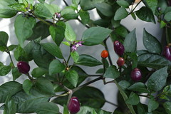 Chilli 'Fairy Lights' (Caro (UrbanVegPatch)) Tags: chilli chilliplant tangerinedream fairylights homegrown growyourown