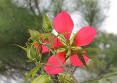swamp hibiscus (Moon Rhythm) Tags: scarletrosemallow texasstar swamphibiscus flower plant mygarden hibiscuscoccineus eastcoastnative calyx underside red