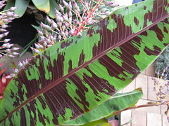 Gingie - Variegated banana leaf (stitchingbushwalker) Tags: opengardens gingie