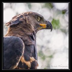 Eagle20100204MG3219Fr (rbnaso) Tags: africa bird tanzania eagle manyara lakemanyara africaneagle crownedeagle birdsofafrica stephanoaetuscoronatus