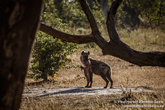 Hyena In The Okavango Delta, Botswana
