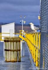 Lake Michigan ... 'bring on french fry season!' (Ken Scott) Tags: usa seagulls ice spring michigan lakemichigan greatlakes april piling hdr freshwater grandtraversebay leelanau 2015 45thparallel fueldock yellowfence backpage elmwoodtownship