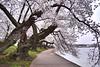 A walk along (Jarrett Hendrix) Tags: morning cherry washingtondc dc washington basin cherryblossom tidal tidalbasin cherryblossomdc cherryblossomsdc dcblooms cherryblossfest capitolweathergang