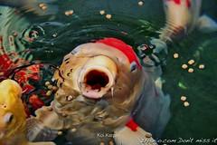 Koi Carp (zhianjo) Tags: fish koi carp vis ouwehandsdierenpark karper