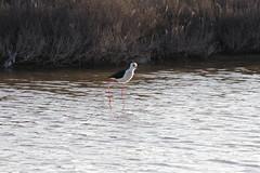 Échasse blanche (claudio malatesta) Tags: españa bird spain pentax marsh saline espagne oiseau stilt salina k5 pájaro zancuda échasse claudiomalatesta
