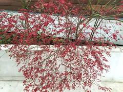(amt40) Tags: garden japanesemaple acer deciduous shrubs palmatum arcejaponés