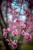 beautiful pink blossoms (Sam Scholes) Tags: pink flowers flower nature garden utah spring unitedstates blossoms saltlakecity springflowers floweringplum redbuttegarden rosefamily blireanaplum prenusxblireana