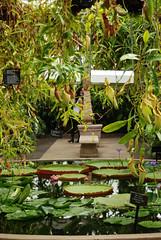 Fountain with enormous lily pads (imajane) Tags: newzealand green beautiful garden auckland lovely lush 2015 wintergardenpavillion imajane dsc0294fountainview