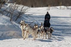 DSC03480_s (AndiP66) Tags: sony dscrx100ii dscrx100m2 rx100ii rx100m2 andreaspeters husky tour hundeschlitten schlittenhunde eskimo dog sled sledge oberwald wallis goms obergoms oberwallis winter schweiz suisse switzerland schnee snow mountains berge alps alpen obergomsvs valais