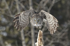 Chouette Lapone / Great grey owl (Luc Parent) Tags: grey wings eyes flight yeux owl vol chouette ailes lapone sã©lection