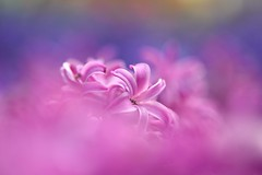 Breath Of Spring (Anna Kwa) Tags: flowers macro art love nature marina nikon singapore bokeh spirit dreams d750 hyacinth fragrance hyacinthus tulipmania  afsvrmicronikkor105mmf28gifed flowerdome gardensbythebay breathofspring annakwa hyacinthuscvpurplesensation