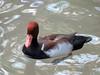 Duck (1) (bookworm1225) Tags: zoo march minnesotazoo 2015 tropicstrail minnesotatrail