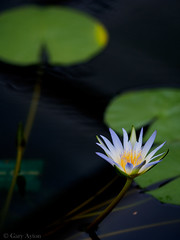 "waterlily • <a style=""font-size:0.8em;"" href=""http://www.flickr.com/photos/44919156@N00/17013867661/"" target=""_blank"">View on Flickr</a>"
