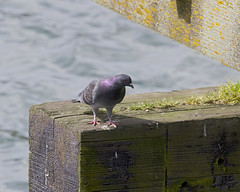 Dock pigeon (DCWright-Whidbey) Tags: pigeon birdlife commonbirds rockdove
