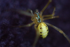Query - Comb footed spider - Enoplognatha ovata (2) (Procrustes2007) Tags: uk england spider suffolk britain wildlife arachnid flash nikond50 sudbury enoplognathaovata combfootedspider wildlifephotography tamron2xteleconverter littleyellowspider nikkor50mmais vivitarextensionrings68mmtotal