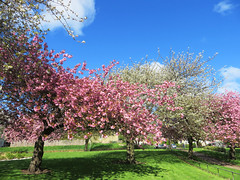 Cherry blossom, Restalrig Park, Edinburgh (Niall Corbet) Tags: park pink white cherry scotland spring edinburgh blossom restalrig