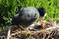 Jong leven (Olga and Peter) Tags: nederland thenetherlands chick diemen coot jong meerkoet fp1040692
