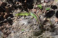 Green Gladiators - 4 (willjatkins) Tags: britishwildlife reptiles lacertaagilis sandlizard ukwildlife britishreptiles dorsetwildlife britishlizards uklizards ukreptiles dorsetreptiles dorsetlizards sandlizardsfighting sandlizardcombat