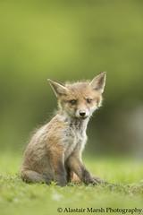 Fox Cub Portrait (Alastair Marsh Photography) Tags: mammal fox mammals foxes redfox foxcub smallmammal smallmammals babymammal britishmammal britishmammals