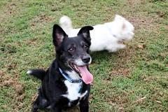The Streaker (Gillian Everett) Tags: park dog angus bordercollie sooki
