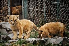 Locked Lions (Cmuozfernandez) Tags: leon leones bebes encerrados cautiverio lion lions baby locked