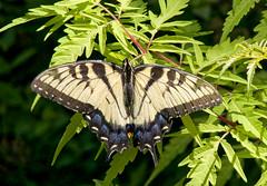 Eastern Swallowtail on sumac (mmorriso2002) Tags: sumac nativeplant easternswallowtail backyardhabitat