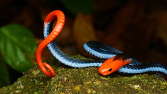 the Blue Malayan Coral Snake - Calliophis bivirgata (Hardy.backyardGEO) Tags: malayan coralsnake bluecoralsnake calliophisbivirgata snake malaysia macrophotography nature orange blue rainforest jungle