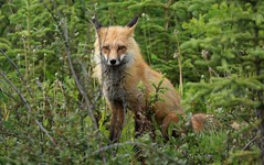 "Red Fox Carcross British Columbia Canada ""North America"" (eriagn) Tags: northamerica canada britishcolumbia carcross redfox fox animal mammal fur bushytail adult wildflowers foliage habitat ecosystem ngairehart wildlife photography eriagn carcrossdesert"