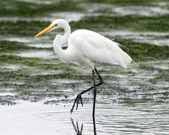 Great Egret (malarchie) Tags: greategret ardeaalba libertystatepark jerseycity cavenpoint