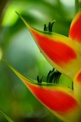 """ヘリコニア・ワグネリアナ /Heliconia wagneriana (nobuflickr) Tags: flower nature japan botanical kyoto 日本 花 """"the garden"""" 京都府立植物園 heliconiawagneriana awesomeblossoms ヘリコニア・ワグネリアナ バショウ科ヘリコニア属 20160518dsc09621"""