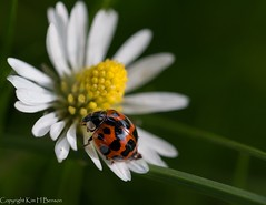 Ladybird (kimbenson45) Tags: black closeup color colorful colors colour colourful colours differentialfocus flower green insect ladybird ladybug macro nature outdoors petals plant red shallowdepthoffield spots spotted white wildlife yellow