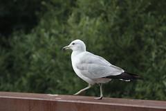 Stupid Seagull (cori573) Tags: bridge bird nature seagull stupid