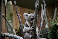 Koala at Edinburgh Zoo (nodb652) Tags: animal zoo edinburgh koala edinburghzoo
