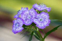 Caryophyllaceae (PhotoSíntesis) Tags: flower blomma dianthus caryophyllaceae clavellina sommarnejlika