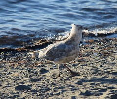 (careth@2012) Tags: seagull nature wildlife beak feathers