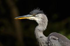 Heron close up (Wessel...) Tags: canon heron kralingen kralingseplas nederland netherlands reiger rotterdam