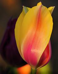 Fascination (seaneik) Tags: tulip sensual layers explored cffaa