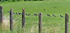 Schwalben (mama knipst!) Tags: bird fence natur zaun vogel schwalben