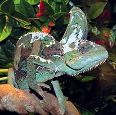 Chameleon Shedding its Skin (Mary Faith.) Tags: lizard reptile chameleon shedding skin