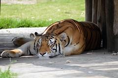 No soy flojo, soy un gato !! (castorssito) Tags: zoo nikon tiger grandes felinos felines bigcats nikond3200