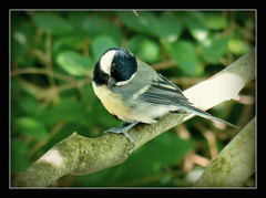 Kohlmeise (karin_b1966) Tags: bird nature animal garden natur garten tier vogel 2016 kohlmeise yourbestoftoday