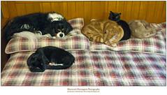 All but Al (Sherwood Harrington) Tags: pets cats dogs finn guinness fonzie luna jax cavalierkingcharlesspaniel orange ginger tabby sableburmese fawnabyssinian domesticshorthair tuxedo blackandwhite