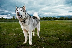 Counting down the days until winter :) (jayjay.and.the.wolf) Tags: malamute alaskanmalamute weather clouds goldenhour nikon d40 wolfdog