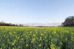 Spring day, Selling (graemehayhoe3000) Tags: field yellow kent selling